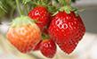 Formation agriculture biologique fruits rouges